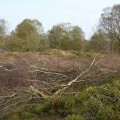 Tree felling by Maiden Castle ramparts